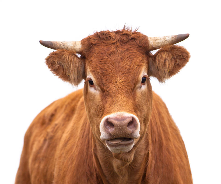24103095 - portrait of a cow grown for organic meat on a white background