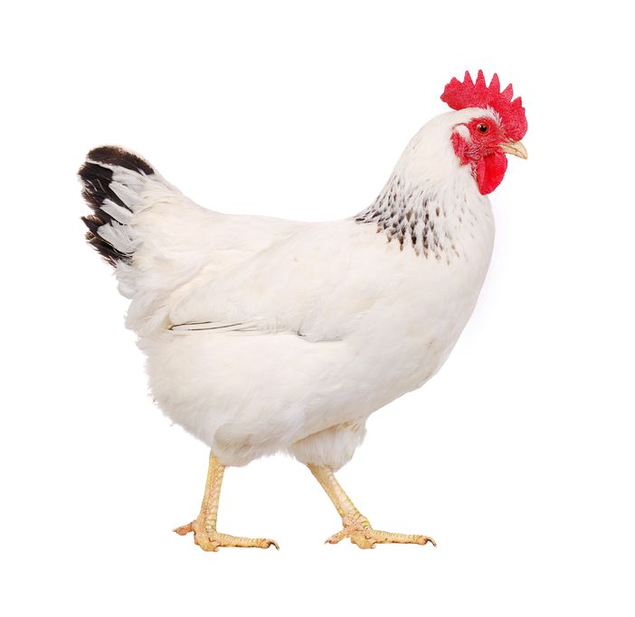 6991118 - white hen isolated on white, studio shot
